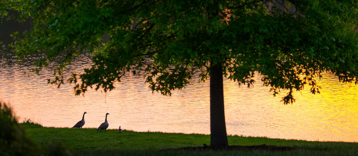 Pair of geese lakeside at sunset.